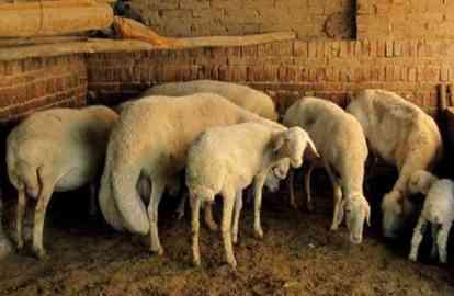 兰州大尾羊