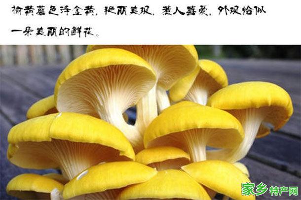 白山市特产-榆黄蘑相关图片