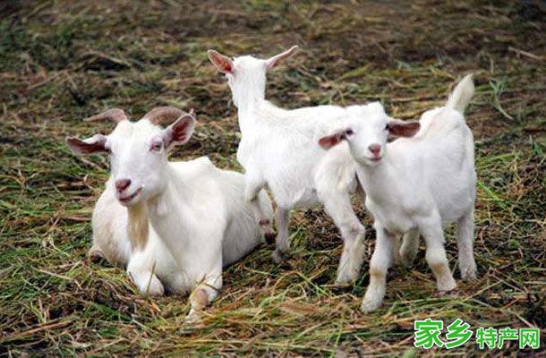 萧县特产-萧县白山羊相关图片