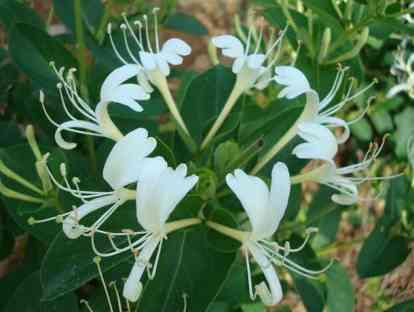 安龙金银花