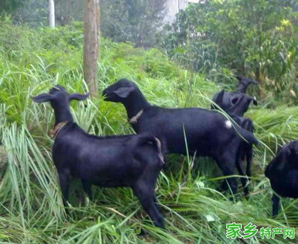望谟特产-望谟黑山羊相关图片