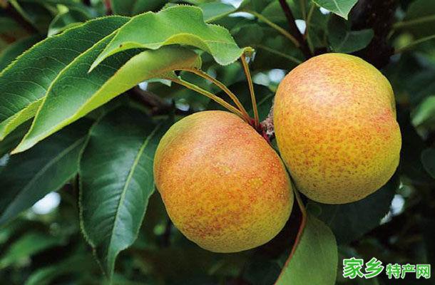 吉林市特产-苹果梨相关图片